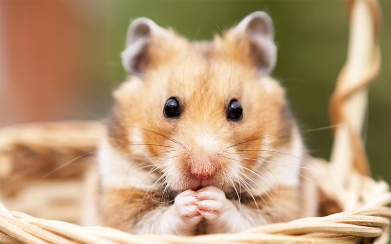 Blonde hamster