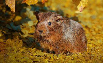 Best guinea pig playpens and runs