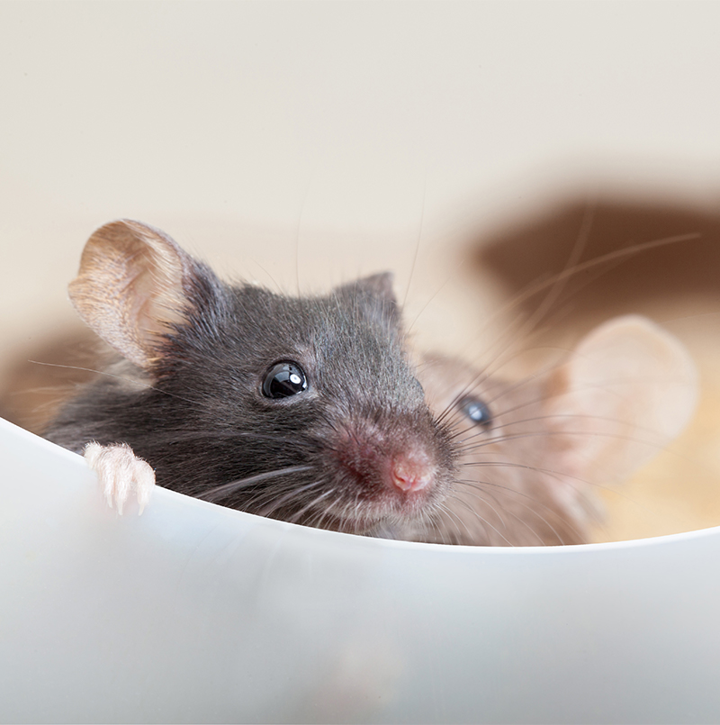 how do rats have sex
