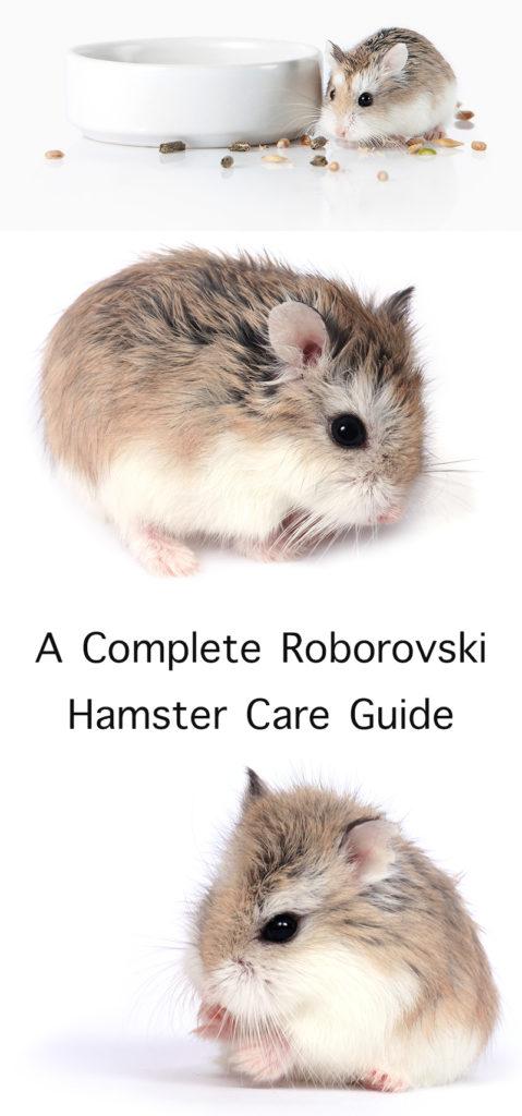 Roborovski Hamster Care Guide
