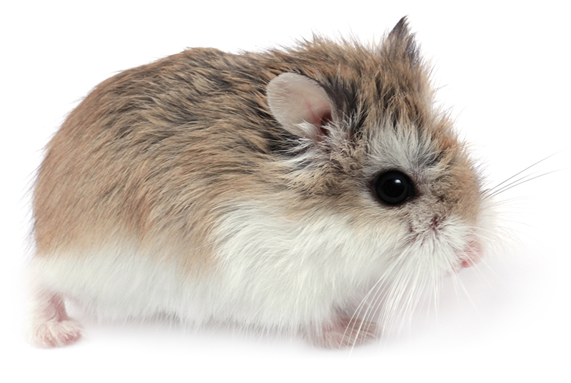roborovski hamster facts for kids