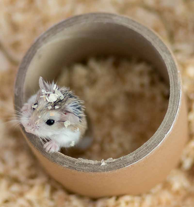 Desert Hamster Care Guide