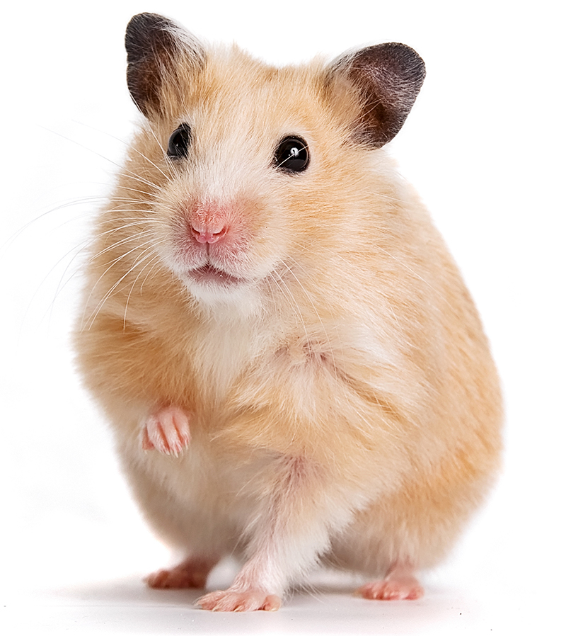 Syrian hamster facts for kids