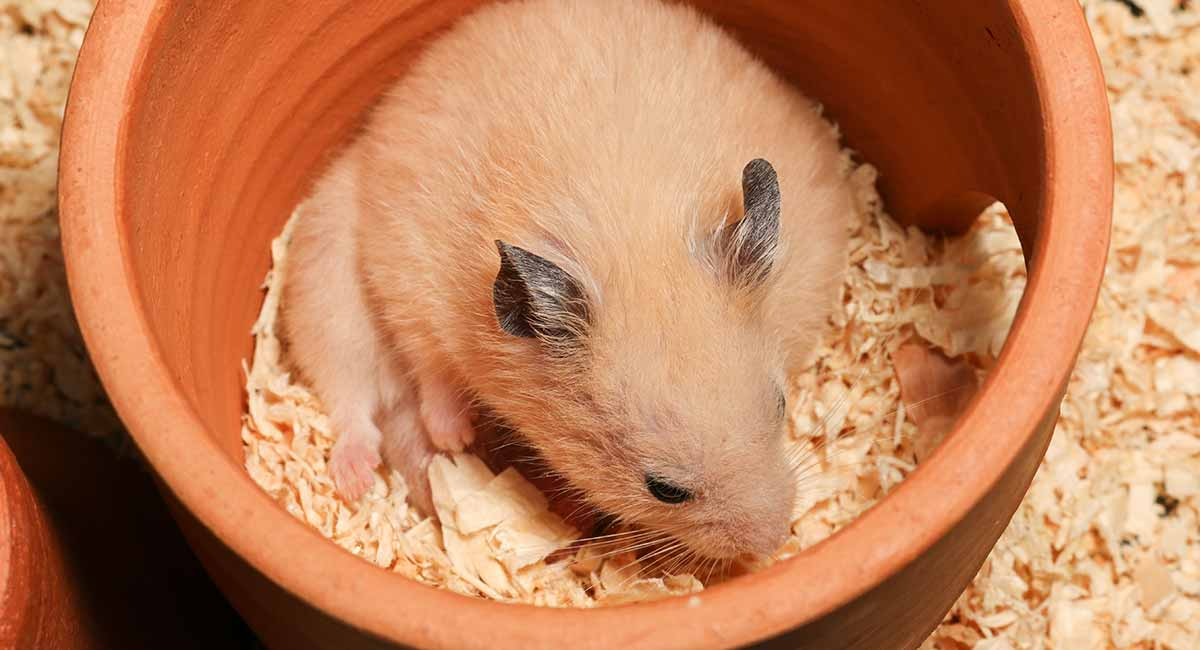 Dwarf Or Syrian Hamster Bedding Reviewed, Can You Use Shredded Paper For Hamster Bedding