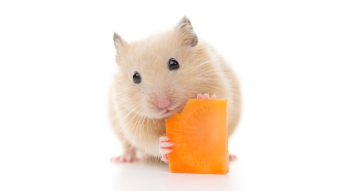Can Hamsters Eat Carrots Safely - And How Much Can They Have?