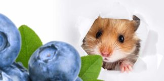 Can hamsters eat blueberries