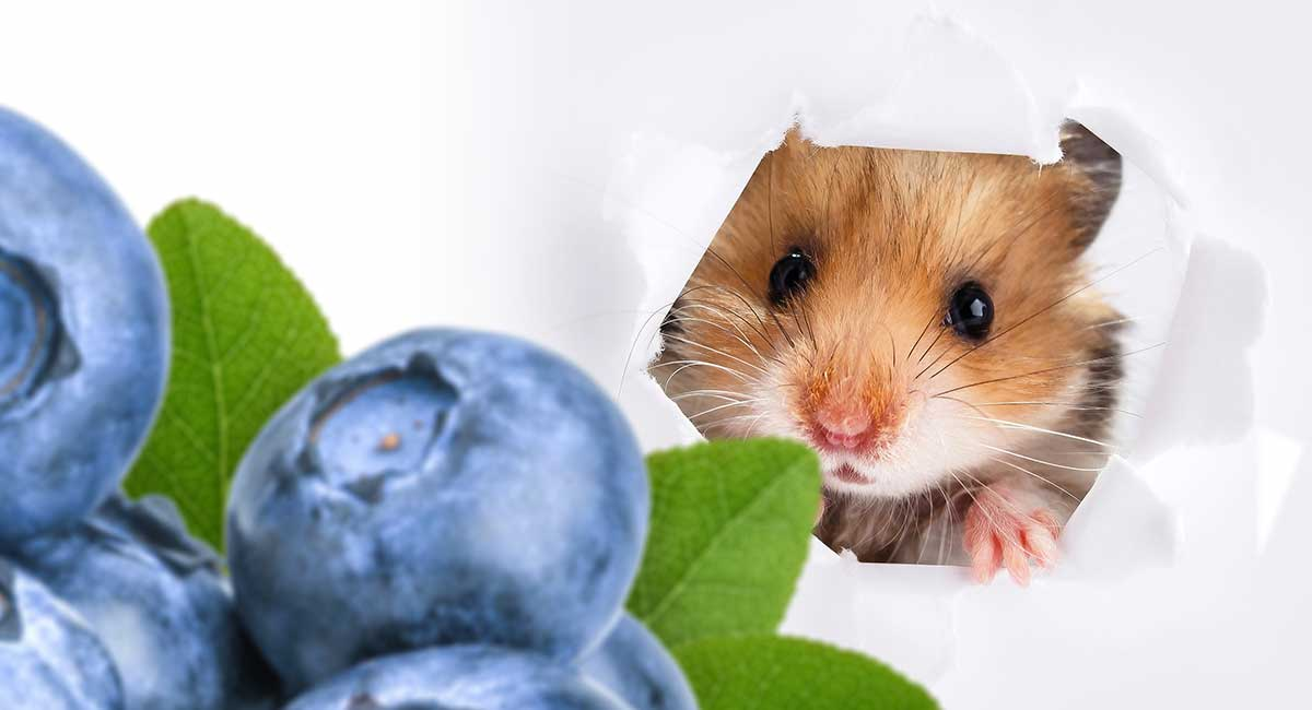 Can Hamsters Eat Blueberries? A Dwarf and Syrian Hamster
