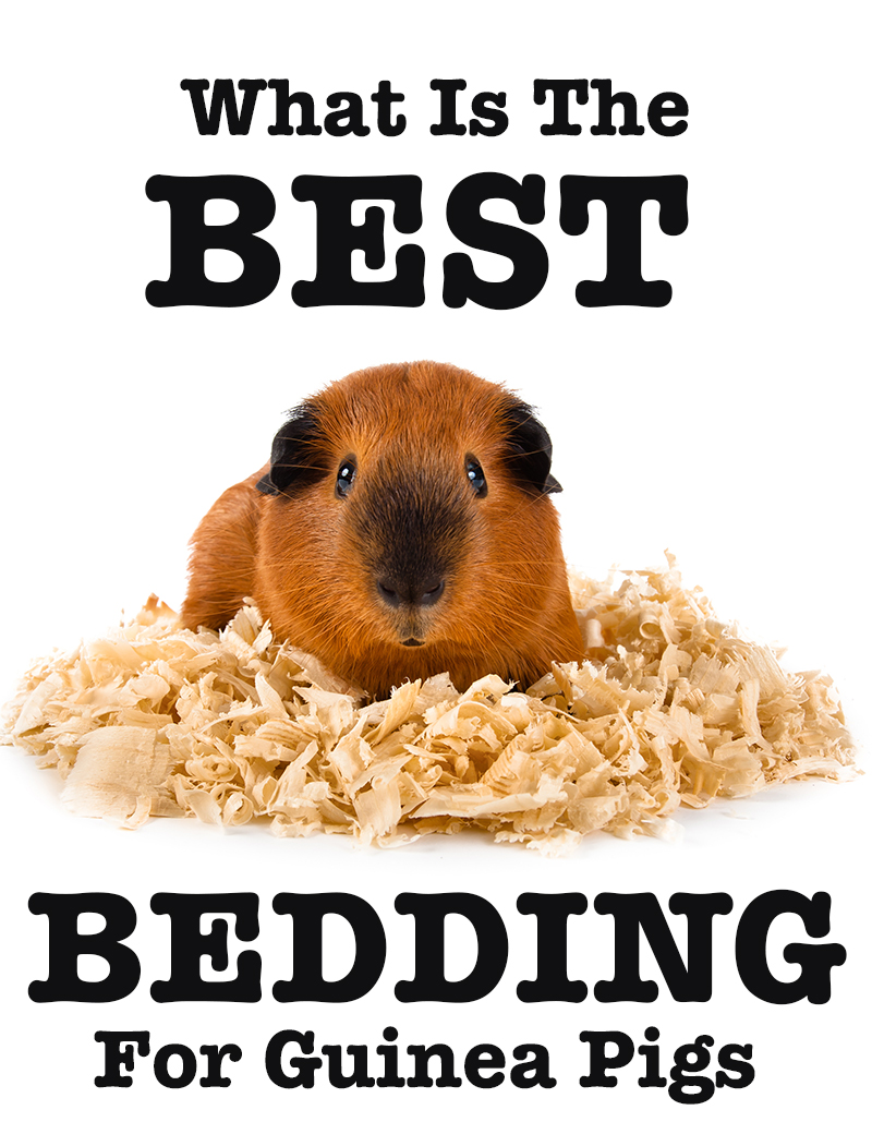 What Is The Best Bedding For Guinea Pigs?
