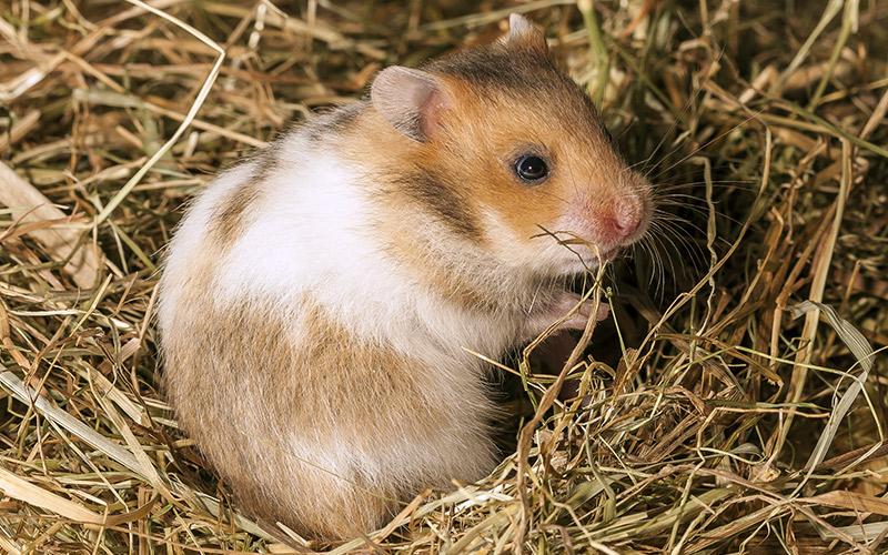 hamster bedding