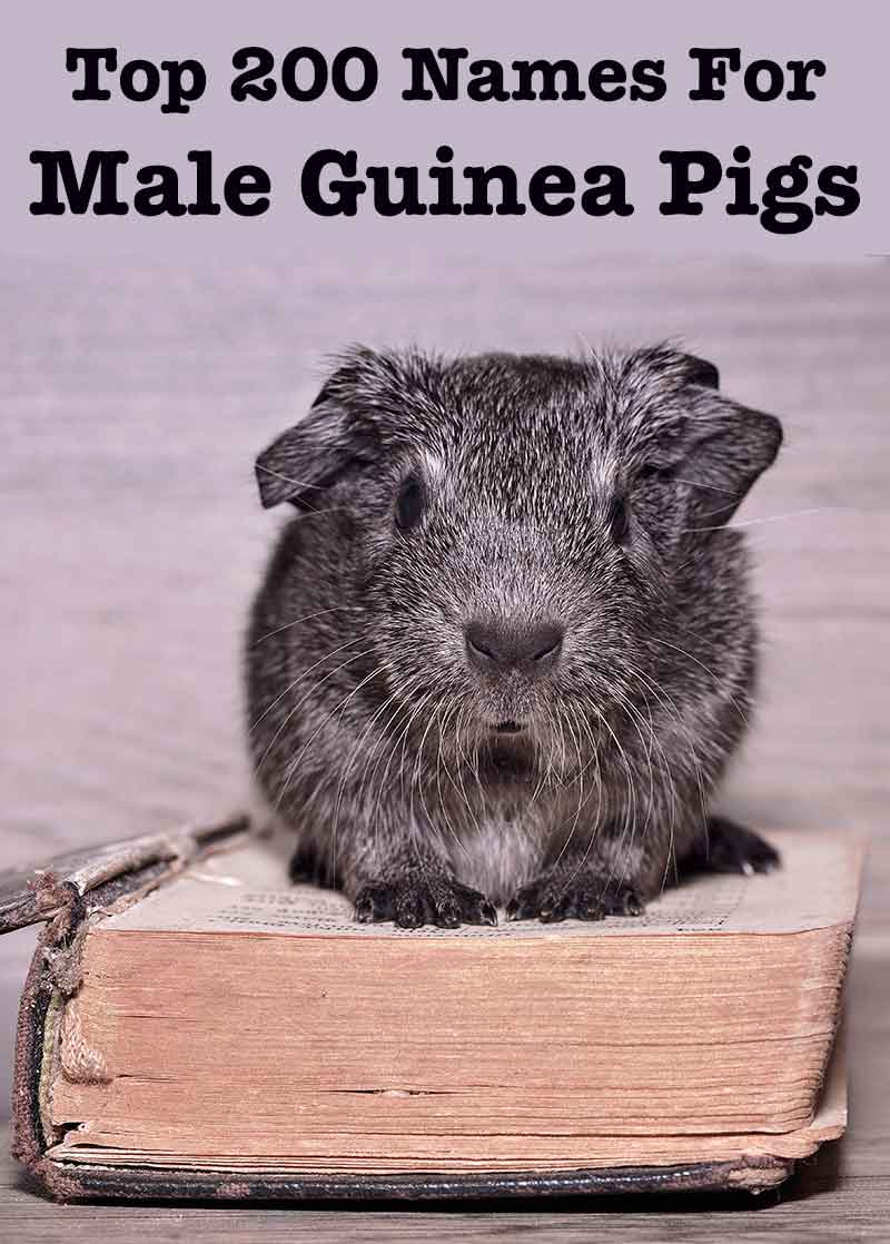 best male guinea pig names