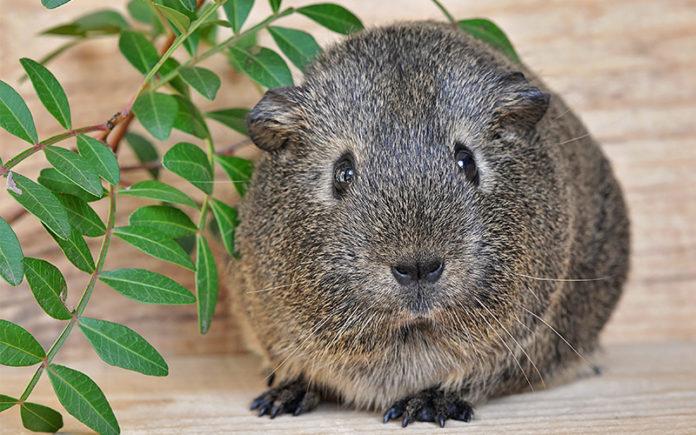 boy guinea pig names