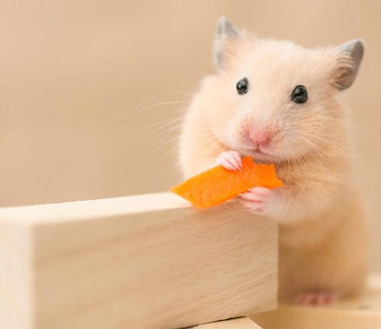 Can Hamsters Eat Carrots?