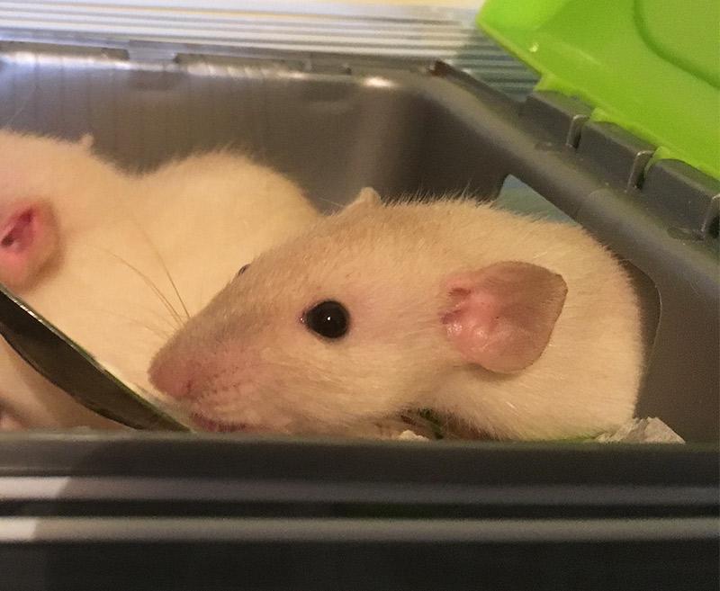 Dumbo Rat Baby