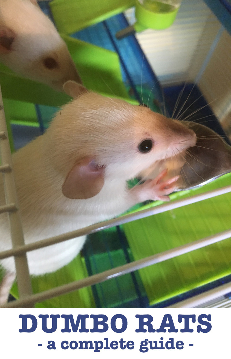 Dumbo Rats - A Complete Guide