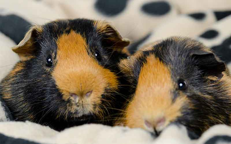 Best Bedding For Guinea Pigs Reviews And Tips To Help You