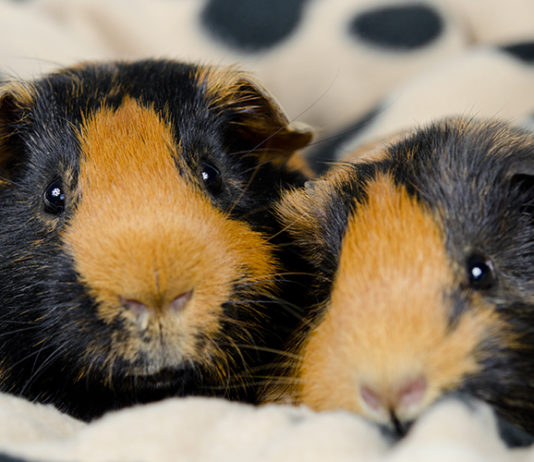 Best Bedding For Guinea Pigs