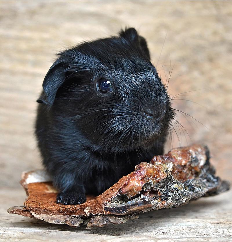 guinea pig names male