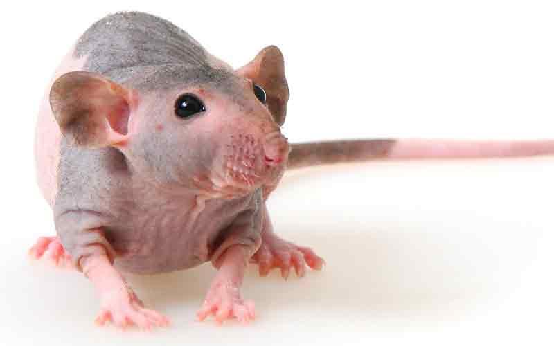 Hairless Pet Rat