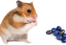 can hamsters eat blueberries?