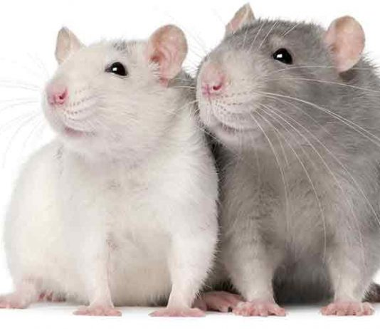 can male and female rats live together