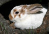 diarrhea in rabbits