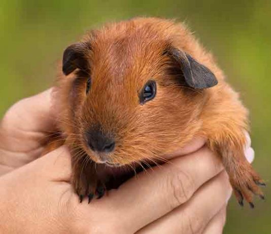 How Big Do Guinea Pigs Get?