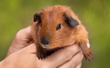 How Big Do Guinea Pigs Get?