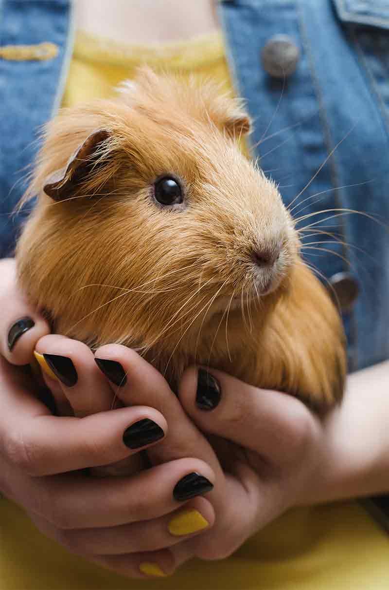 Guinea pig Size Guide - How big do guinea pigs get?
