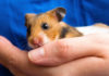 Hamster Wet Tail Treatment, Symptoms and Causes
