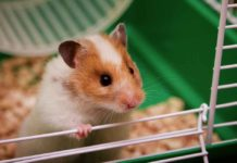 Roborovski Hamster - The Complete Guide To The Robo Dwarf Hamster