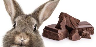 Can Bunnies Eat Chocolate