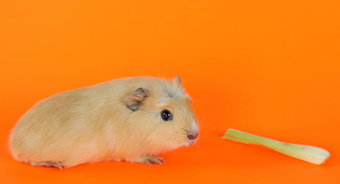 can guinea pigs eat celery