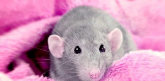 best bedding for fancy rats