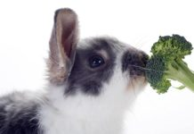 Can Rabbits Eat Broccoli?