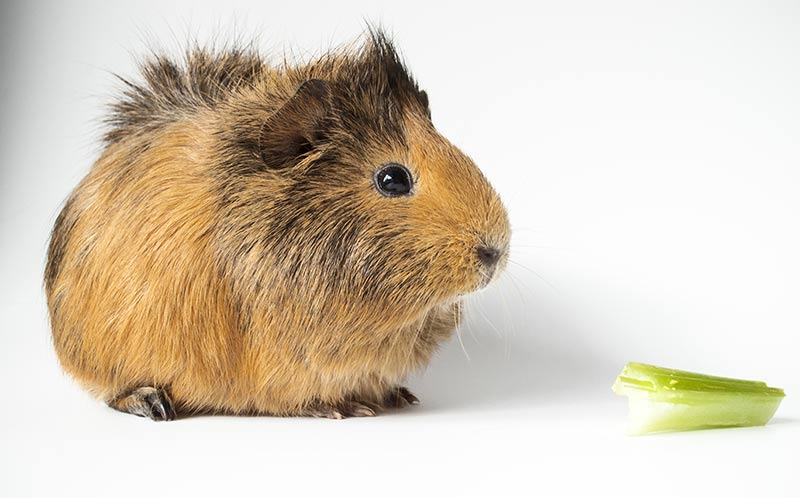can guinea pigs have celery