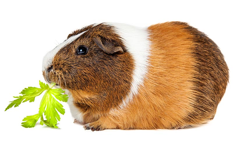 can i feed my guinea pig celery leaves