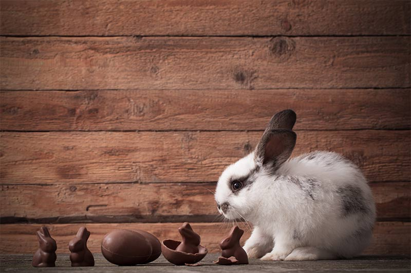 can bunnies eat chocolate?