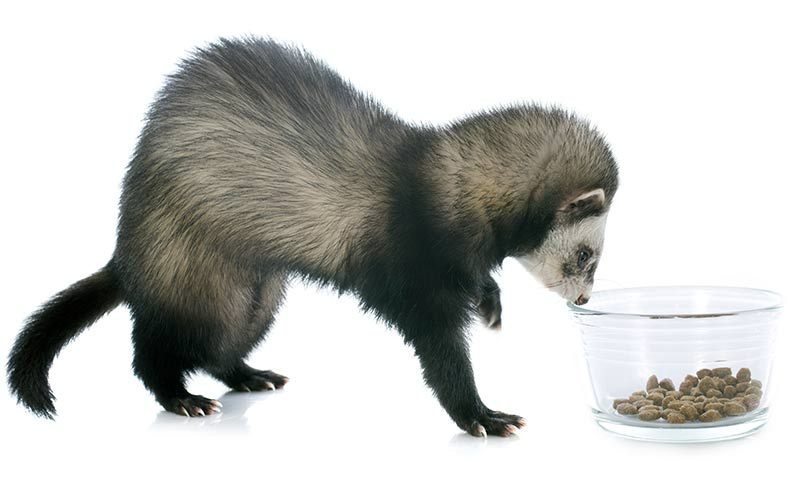 What Is The Best Dry Ferret Food