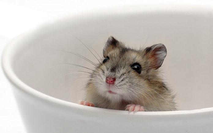 hamster sand bath guide