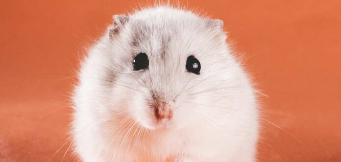 white female hamster