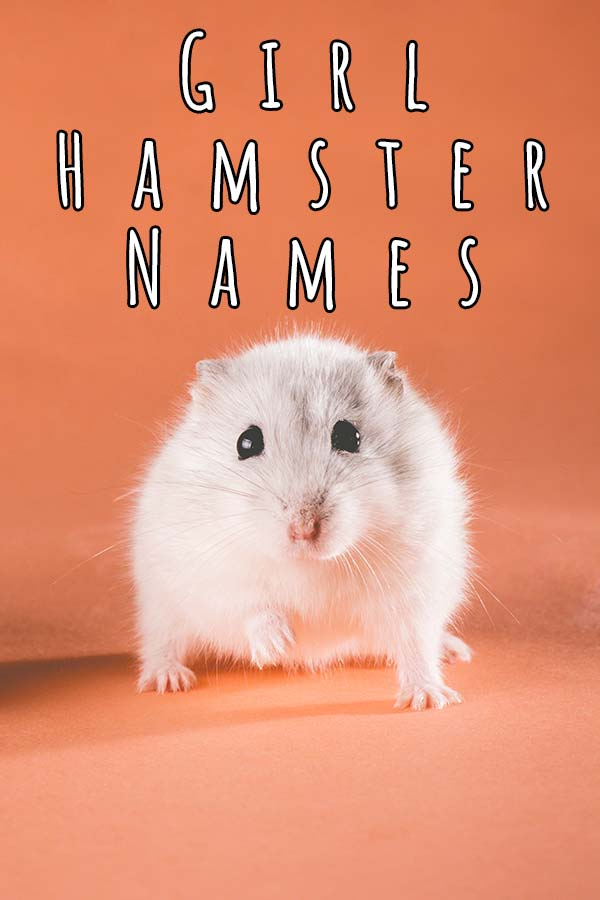 Femal white hamster with caption 'girl hamster names'
