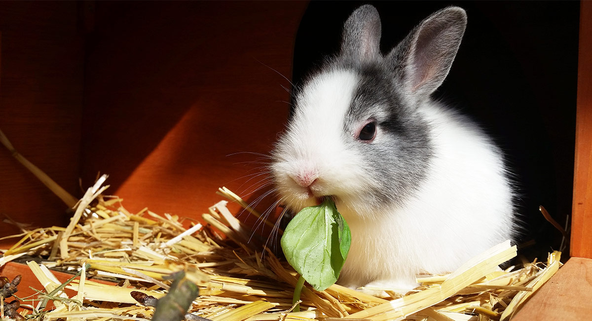Best Bedding For Rabbits Helping You, Can Rabbits Have Red Cedar Bedding