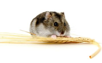 food for dwarf hamsters