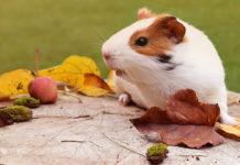 funny guinea pig names