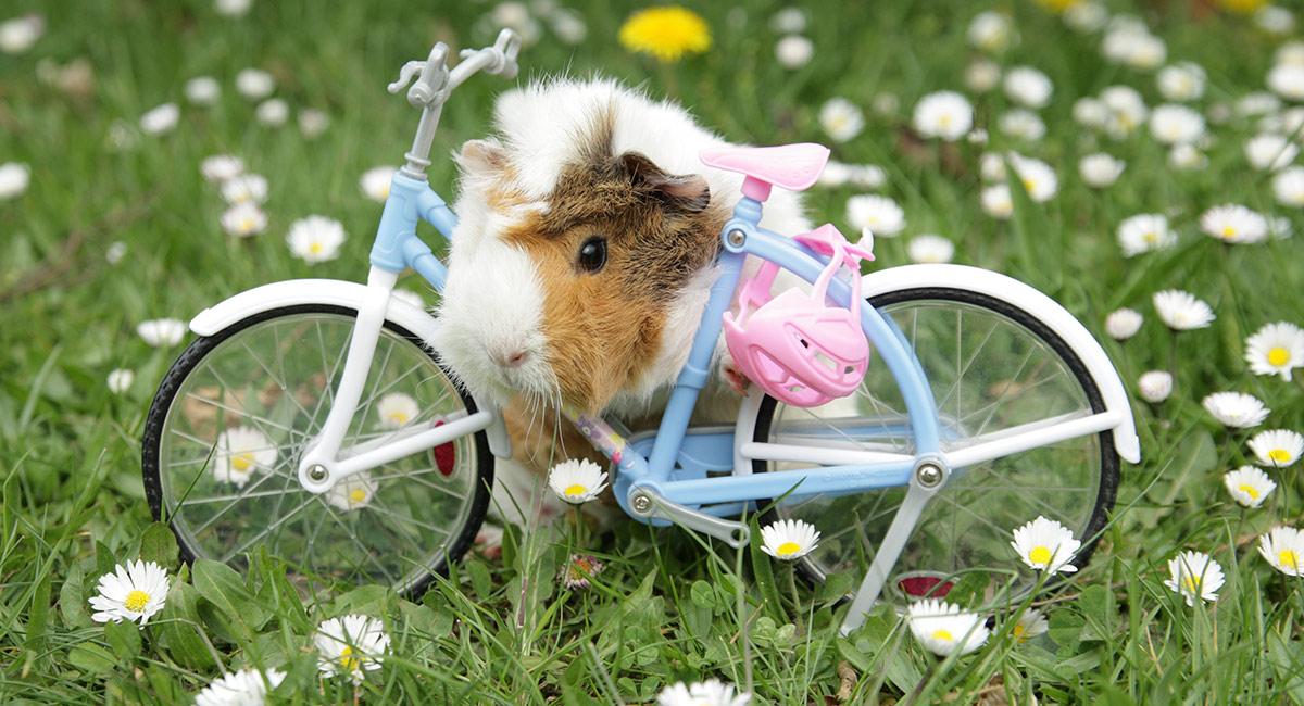 Funny Guinea Pig Names - Ideas For 1, 2 and 3 Piggy Families