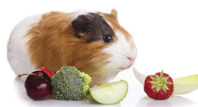 can guinea pigs eat broccoli