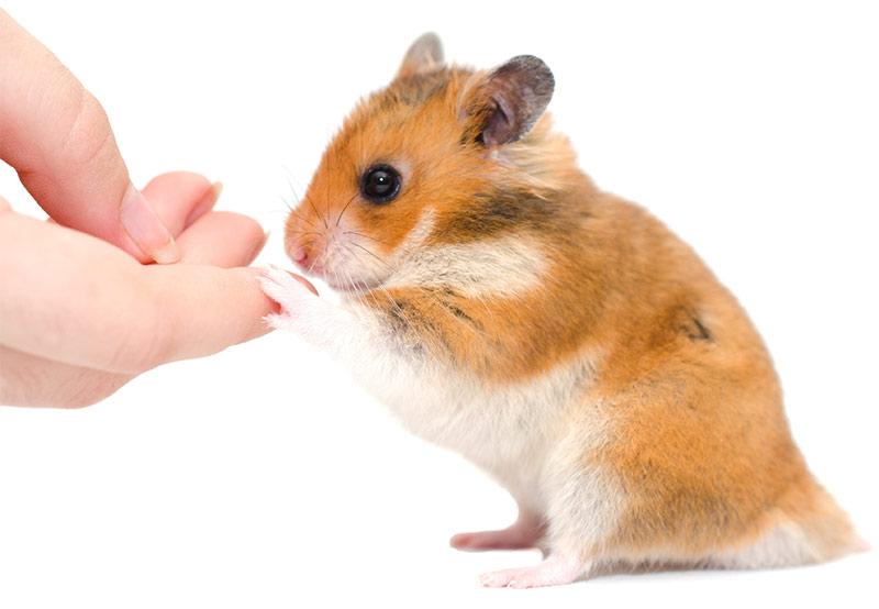 syrian hamster stuff