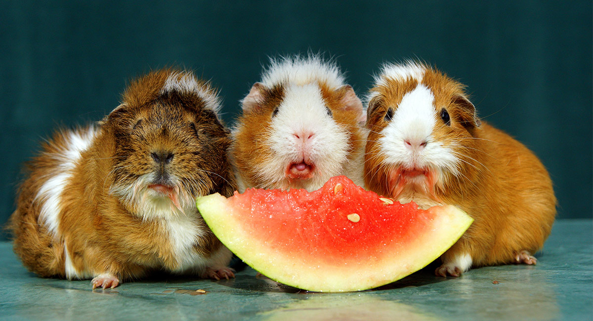 Can guinea pigs eat watermelon fruit rind or seeds for What parts of a watermelon can you eat