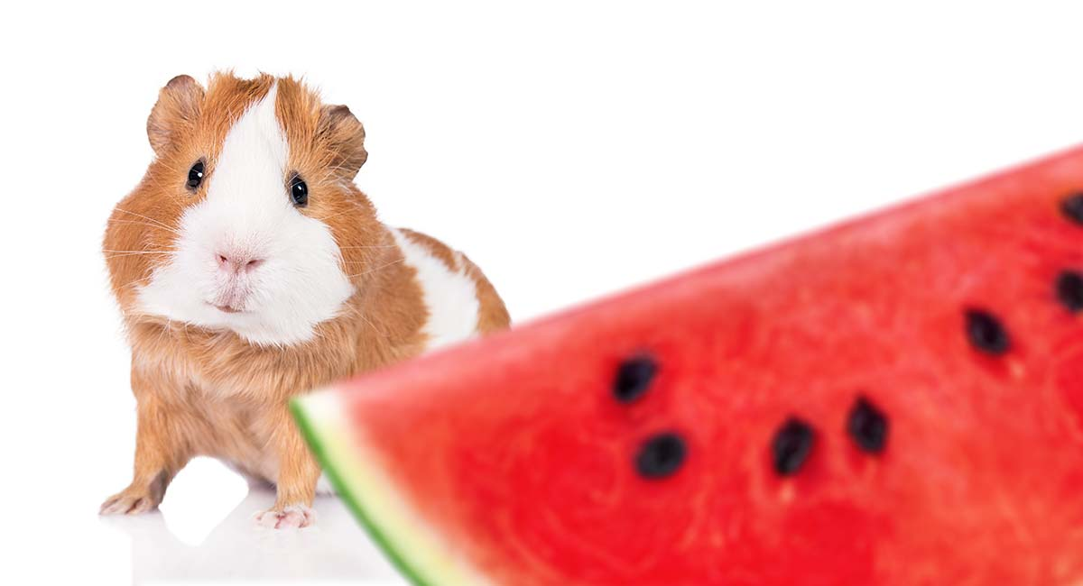 can guinea pigs eat watermelon