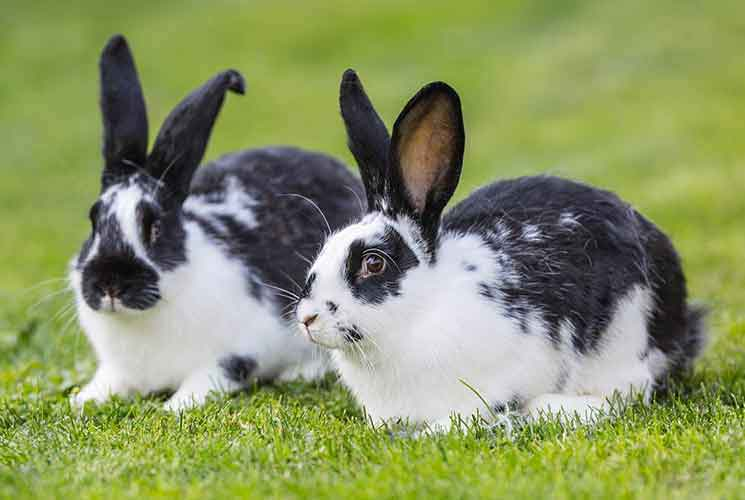 Names for black and white rabbits